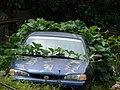 Starr-090417-6140-Cucurbita pepo-engulfing car-Haliimaile-Maui (24656694180).jpg