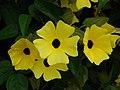 Starr-090430-7041-Thunbergia alata-cv Sundance yellow flowers-Enchanting Floral Gardens of Kula-Maui (24326937403).jpg