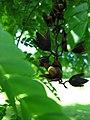 Starr-091104-0861-Pithecellobium alexandri-fruit-Kahanu Gardens NTBG Kaeleku Hana-Maui (24692222830).jpg