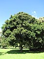 Starr-091104-9013-Adenanthera pavonina-habit-Kahanu Gardens NTBG Kaeleku Hana-Maui (24357887044).jpg