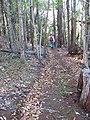 Starr-091127-1515-Fraxinus uhdei-habit with Forest on trail-Olinda-Maui (24897776841).jpg
