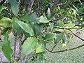 Starr-110330-3707-Fortunella japonica-leaves-Garden of Eden Keanae-Maui (24962508062).jpg