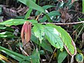 Starr-110330-4065-Theobroma grandiflorum-leaves-Garden of Eden Keanae-Maui (24713510379).jpg