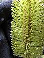 Starr-110609-6144-Banksia marginata-flower-Shibuya Farm Kula-Maui (24729150149).jpg