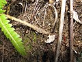 Starr-111129-1549-Polystichum sp-frond and scale-Polipoli-Maui (25002373412).jpg