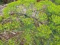Starr-120415-4669-Anethum graveolens-flowers-Hawea Pl Olinda-Maui (25021213702).jpg