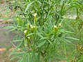 Starr-120608-7386-Tagetes minuta-flowers-Ulupalakua Ranch-Maui (25145434025).jpg