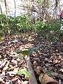Starr-130320-3503-Cupaniopsis anacardioides-seedlings-Mokolea Pt Kilauea Pt NWR-Kauai (24582459633).jpg