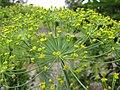 Starr-130504-4392-Anethum graveolens-flowers-Hawea Pl Olinda-Maui (24842938569).jpg