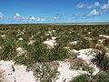 Starr-130910-0772-Conyza bonariensis-habit view lake-Lake Trail-Laysan (25103679172).jpg
