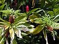 Starr 020913-0025 Alpinia purpurata.jpg