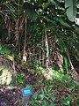 Starr 050107-2830 Heliconia humilis.jpg