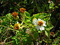 Starr 050419-6484 Bidens alba var. radiata.jpg