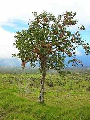 Nothocestrum latifolium - Image: Starr 060429 9477 Nothocestrum latifolium