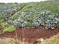 Starr 060916-8833 Brassica oleracea var. capitata.jpg