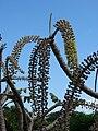Starr 061106-1454 Munroidendron racemosum.jpg