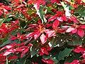 Starr 061201-1751 Euphorbia pulcherrima.jpg