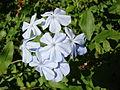 Starr 061223-2704 Plumbago auriculata.jpg