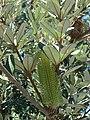 Starr 071024-0269 Banksia integrifolia.jpg