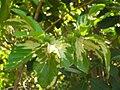 Starr 071024-8789 Morinda citrifolia.jpg