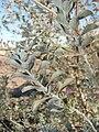 Starr 071224-0458 Leucophyllum frutescens.jpg