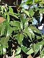 Starr 080301-3106 Tetraplasandra hawaiensis.jpg