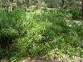 Starr 080609-8007 Cyperus involucratus.jpg