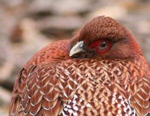 Copper pheasant - Image: Stavenn Syrmaticus soemmerringii ijimae