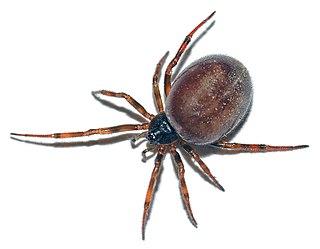 <i>Steatoda</i> spider