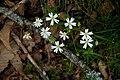 Stellaria holostea 07.jpg