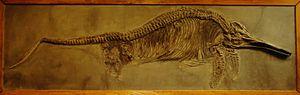 Stenopterygius - S. triscissus specimen