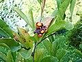 Sternmagnolie Früchte.jpg