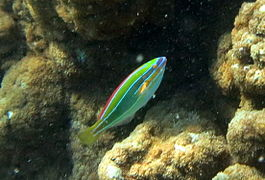 Three-lined rainbowfish (Stethojulis trilineata)