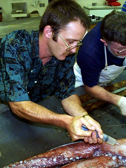 Injecting a giant squid specimen with formalin for preservation. Steve O'Shea injecting formalin.jpg