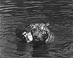 Stewart Raffill & Raj the Tiger.jpg