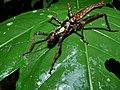 Stick Insect (Haaniella saussurei) (8413963651).jpg