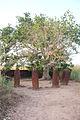Stones around a tree Wassu stone circles Gambia.jpg