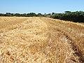Straw field 1.jpg