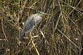 Striated Heron - Liwonde - Malawi S4E2396 (15224990960).jpg
