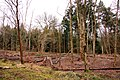 Stripped trees in York's Wood - geograph.org.uk - 1733037.jpg