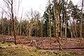 Stripped trees in York's Wood - geograph.org.uk - 1733037.jpg