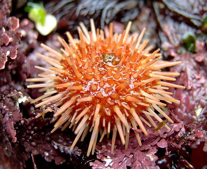 Strongylocentrotus franciscanus juvenile.jpg