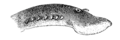 Study of Fishes-Fig 2.png