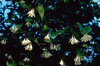 <i>Styrax</i> genus of plants