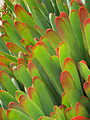 Succulent Mendocino.jpg