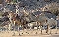 Sudan camels (cropped).jpg