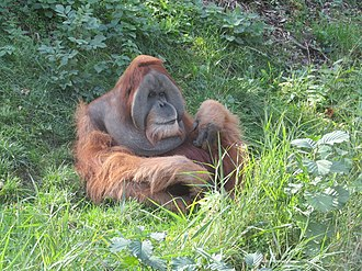 Sumatran orangutan - Male at Leipzig Zoological Garden, Leipzig