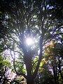 Sunbeams streaming through leaves in the Koishikawa Botanical Gardens PC120036.jpg