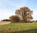 Sunlit oak in autumn foliage - geograph.org.uk - 1588301.jpg
