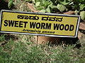 Sweet worm wood (Artemisia annua) from lalbagh 2279.JPG